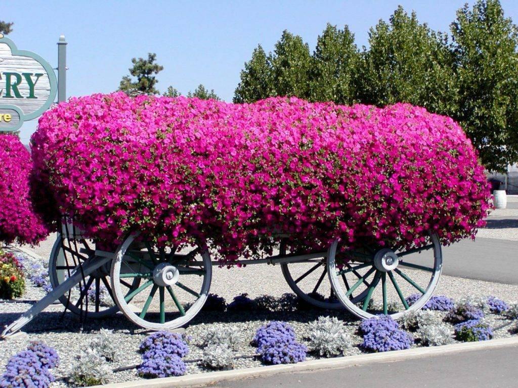 Удобрения для петуний: правила подкормки петуний после всходов для роста. чем подкормить рассаду для обильного цветения?