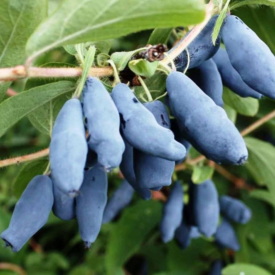 О жимолости Голубое веретено: описание и характеристики сорта, посадка и уход