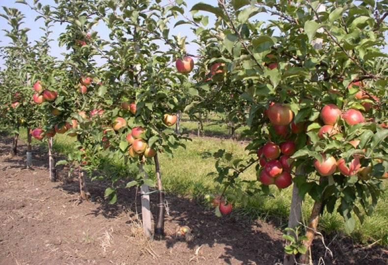 Зимняя яблоня «братчуд»: характеристика и секреты успешного выращивания