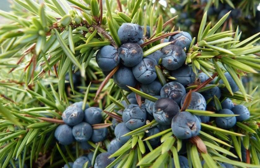 Лечебные свойства и противопоказания ягод можжевельника