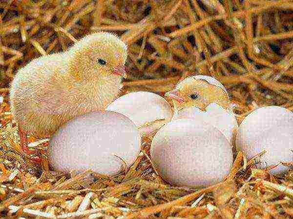 Кормление суточных и подросших цыплят