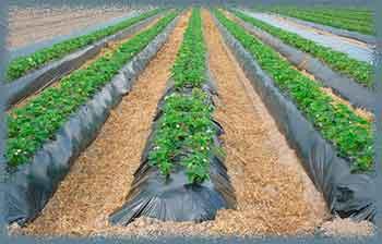 Нюансы мульчирования опилками: плюсы и минусы использования на почве и в теплице