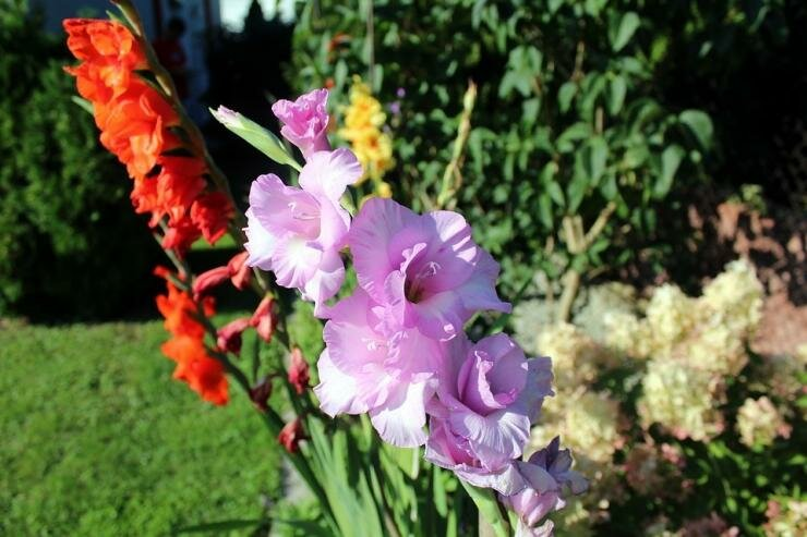 Как сажать гладиолусы весной правильно — секреты садоводов