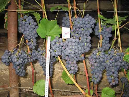 Виноград морозов не боится: понятие морозостойкости и особенности выращивания таких сортов