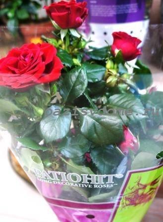 Из-за чего чернеют розы и что с этим делать цветоводу?
