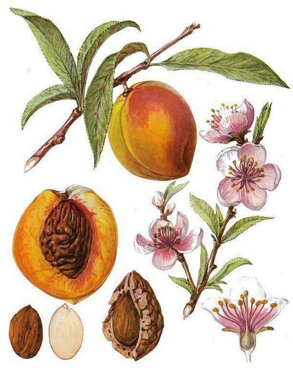 Как вырастить персик из косточки на даче: посадка и уход