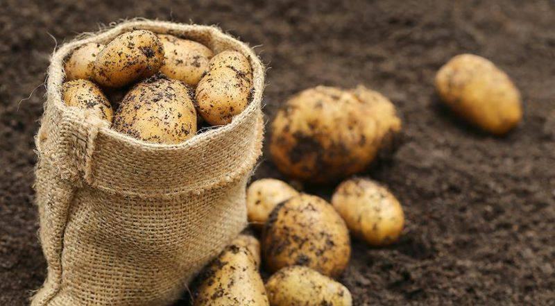 Внесение удобрений при посадке картофеля