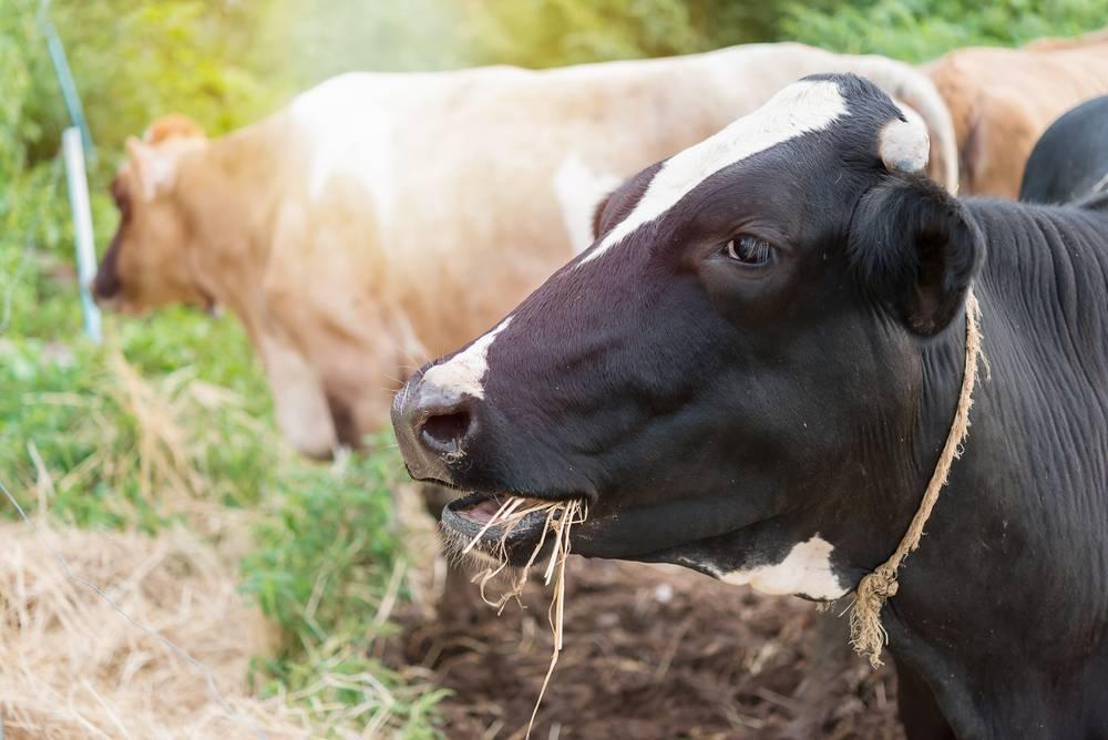 Сколько сена надо корове на зиму