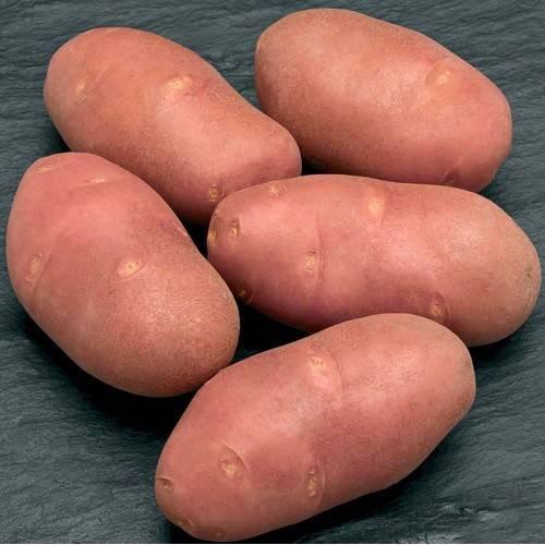 Сорт картофеля ред скарлет характеристика отзывы
