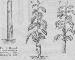 Как правильно размножить яблоню черенками