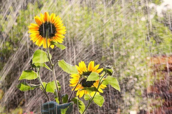 Декоративные подсолнухи - фото сортов, применение в дизайне сада