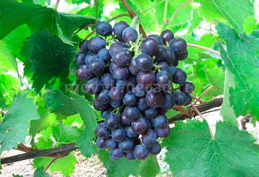 Популярный сорт с ранним созреванием ягод — виноград «муромец»