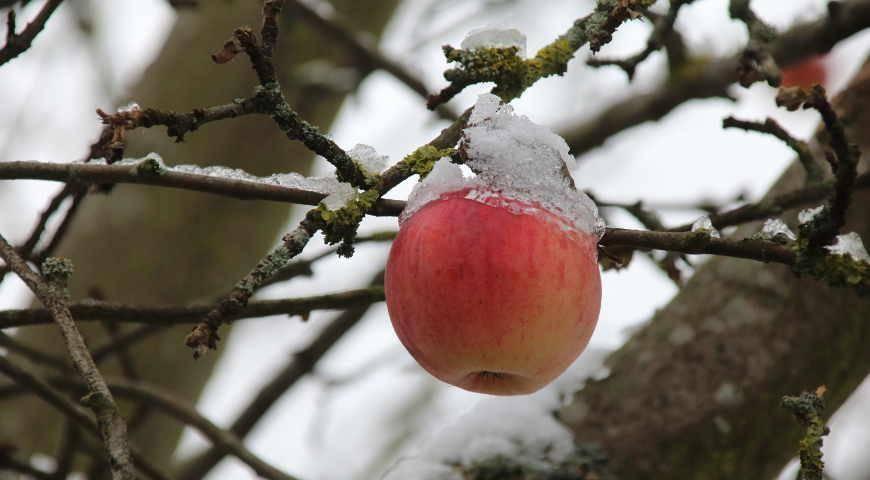 Защита и восстановление подмерзших яблонь. что делать, если яблоня подмерзла когда нужно начинать обрезать яблоню
