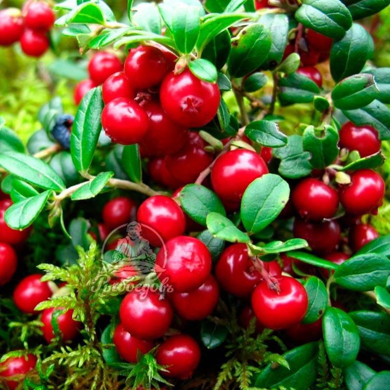 Правила посадки и выращивания садовой клюквы на участке