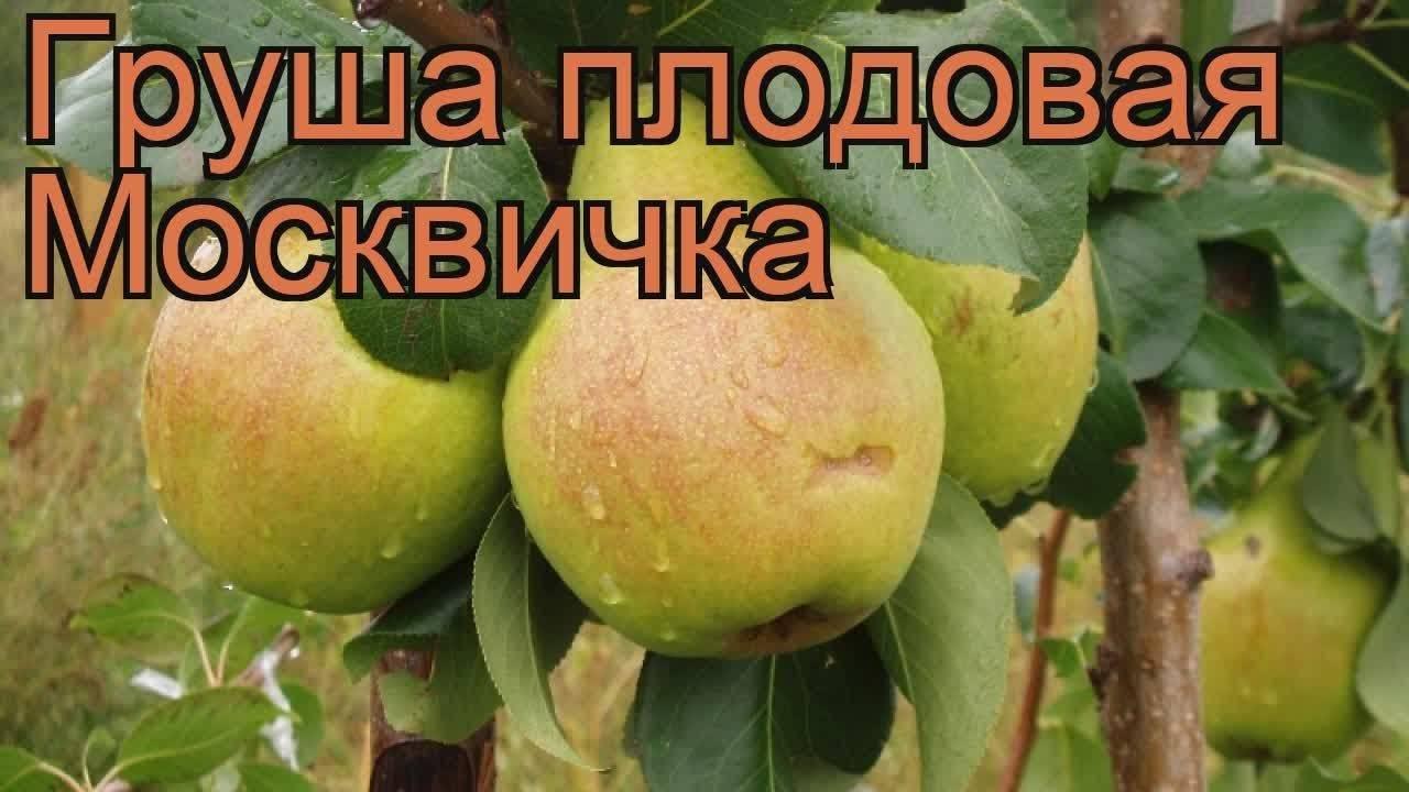 Груша москвичка — один из лучших сортов для средней полосы