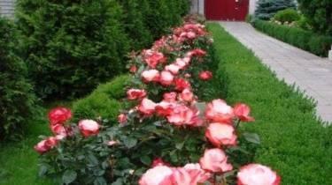 Нужно ли срезать первые бутоны на розах. как удалять отцветшие соцветия роз