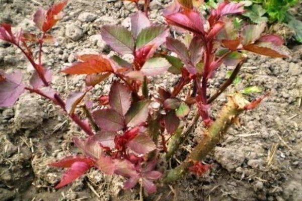 Как и когда лучше пересаживать розы на другое место: осенью или весной?