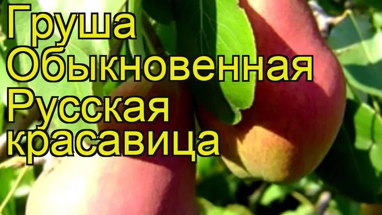 Груша «красавица черненко» («русская красавица») — описание сорта, фото