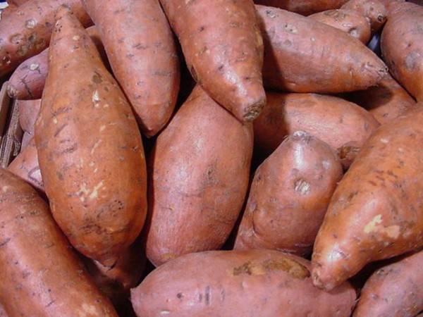 Выбор и приобретение семенного картофеля