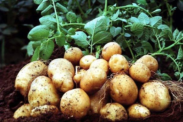 Чем обрабатывать картофель перед посадкой от болезней?