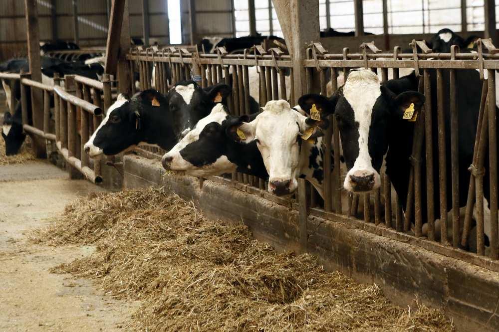 Породы крупного рогатого скота (крс)