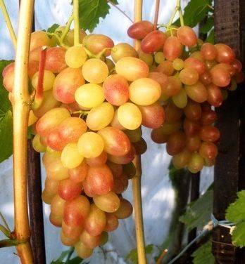 Сорт винограда тасон