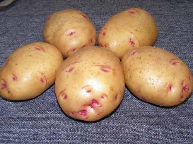 Описание лучших сортов картофеля для выращивания в сибири