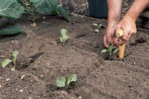 Выращивание рассады белокочанной капусты дома
