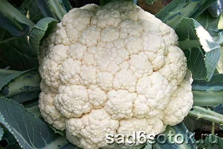 Все о подкормке цветной капусты после высадки в грунт: чем подкормить для роста