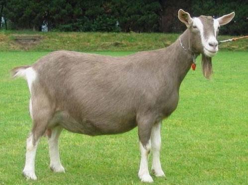 Породы коз (50 фото): описание снежных и дамасских, русских белых и других видов коз