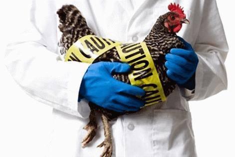 Птичий грипп 2020 симптомы у кур  и как обезопасить человека