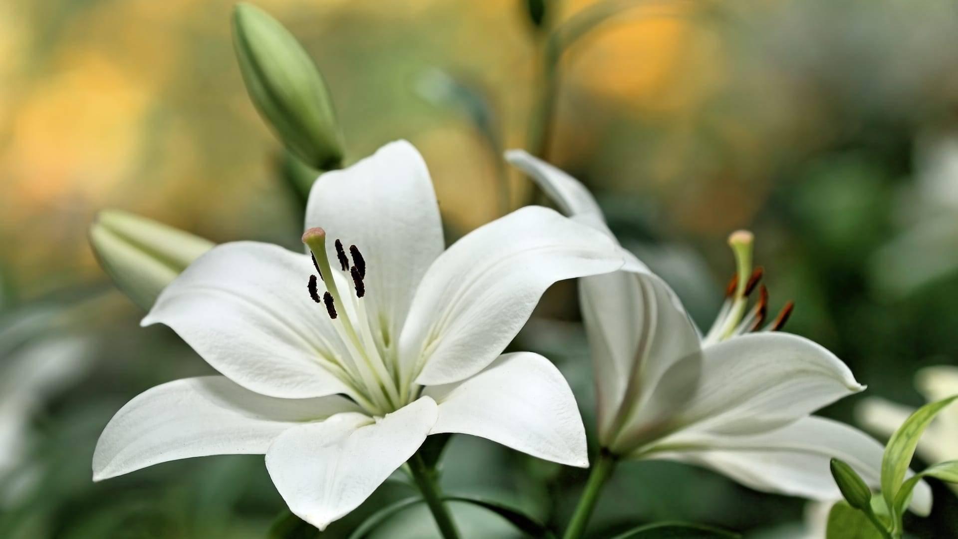Лилии посадка и уход в открытом грунте осенью, когда и как правильно сажать?