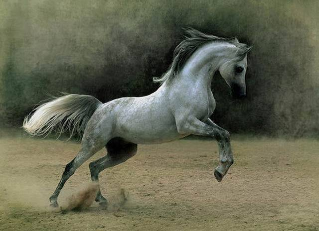 Арабская лошадь. лошади арабской породы: цены, описание