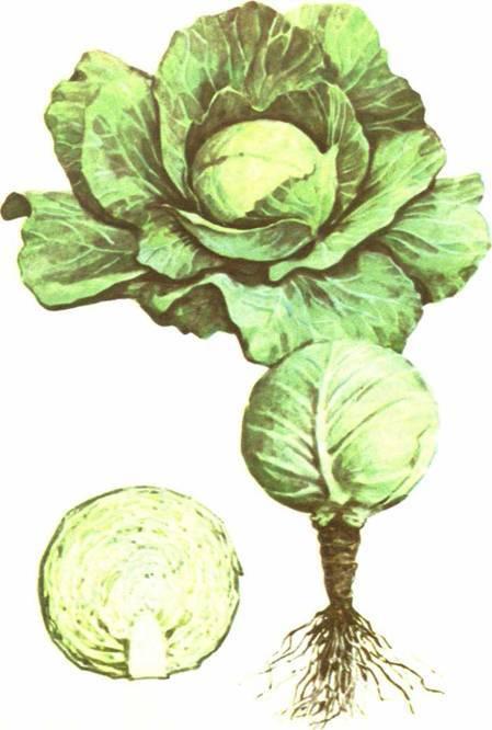 Капуста грибовская 147 (номер первый): отзывы и фото, характеристика и описание белокочанного сорта, посев на