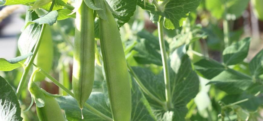 Горох - выращивание, сорта, посадка, фото | россельхоз.рф