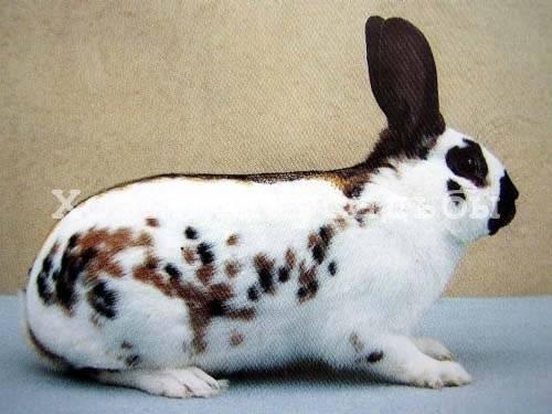 Как определить пол кролика? 22 фото как отличить самку от самца? как в 2 месяца узнать, крольчиха ли это? как различить мальчика и девочку в 3 месяца?