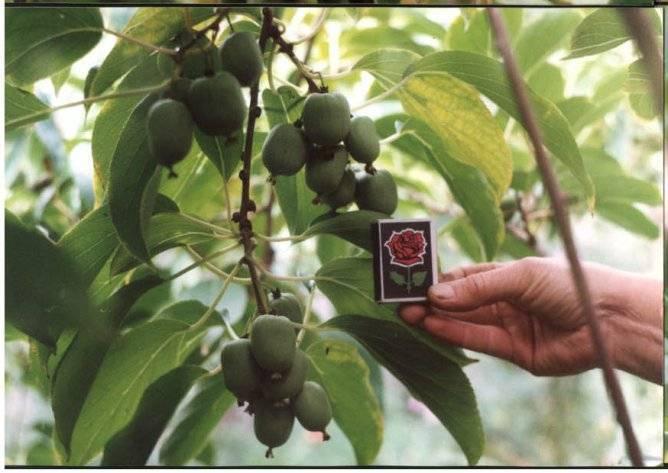 Особенности выращивания актинидии в сибири