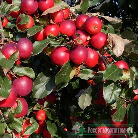 Яблоня недзвецкого – как правильно размножать и пересаживать, возможные болезни