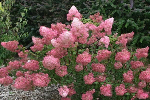 Древовидные гортензии: белые, красные, розовые и махровые виды, выращивание
