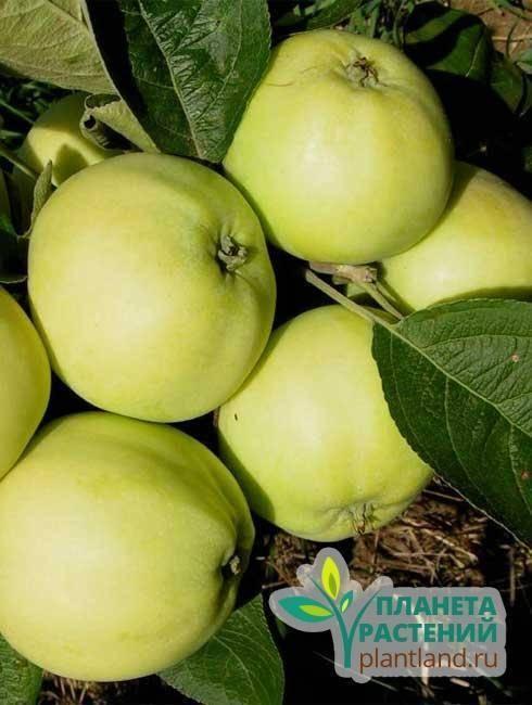 Томат белый налив: отзывы, фото, урожайность, описание и характеристика  | tomatland.ru