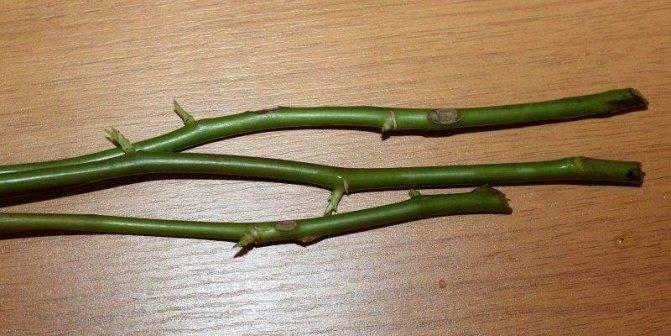 Все этапы черенкования роз осенью в домашних условиях и уход за растением сразу после процедуры