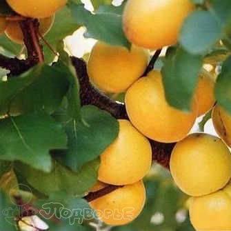 Выбираем наилучшие сорта абрикосов для дачи