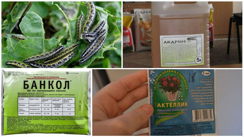 Вредители капусты и методы борьбы с ними