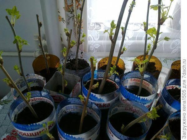 Правильная посадка смородины черенками весной и осенью