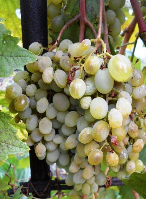 Обработка винограда от вредителей и болезней весной и летом