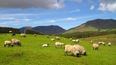Порода овец дорпер (28 фото): кормление и уход за баранами, тонкости разведения