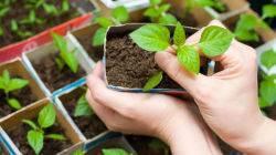 Тонкая и слабая рассада баклажанов: что делать, чтобы помочь рассаде и получить урожай