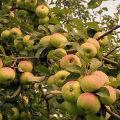 Характеристика и описание яблони «имрус»