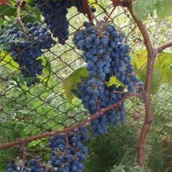 Вино саперави (saperavi) – визитная карточка грузинского виноделия