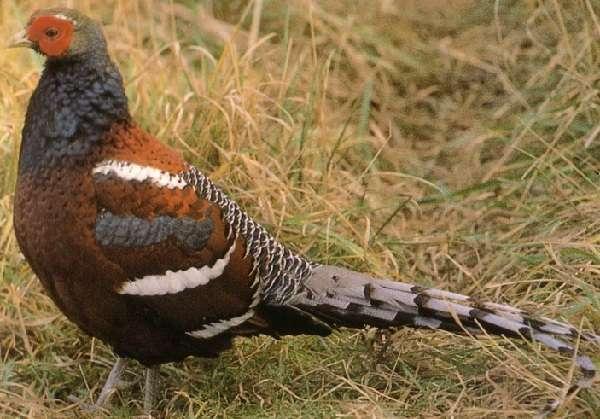 Разведение фазанов в домашних условиях: выбор породы, уход, кормление
